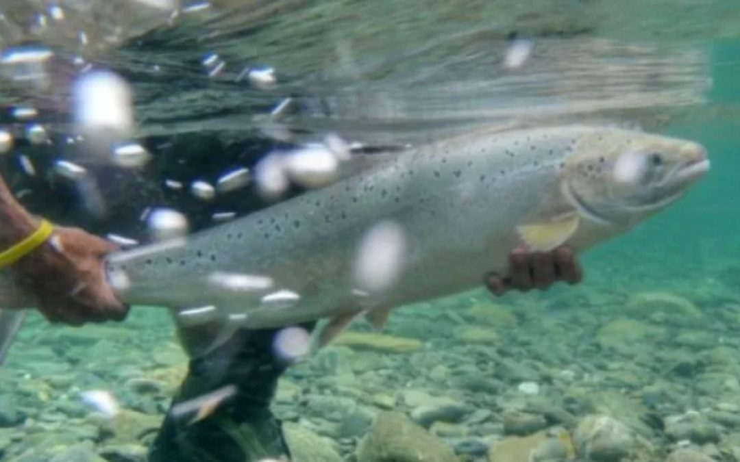 Higher counts of returning Atlantic salmon stir hope after years of decline – CBC News